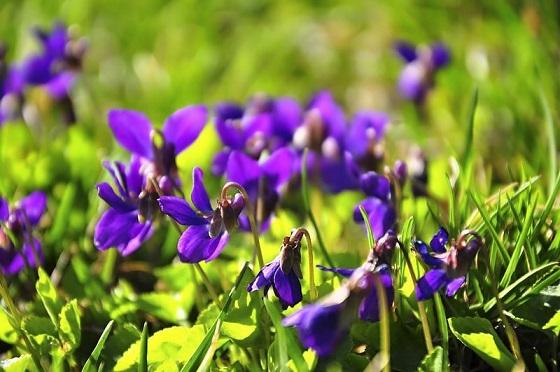 Marcowe fiołki - kwiaty